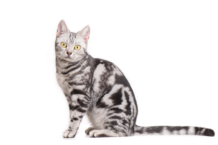 American Shorthair Cat in white background