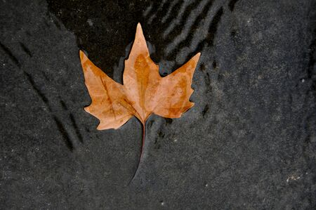 Dried sycamore leaf on water