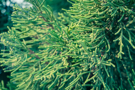Vintage Green Pine Background Right Frame. Natural pine branch backdrop for nature design