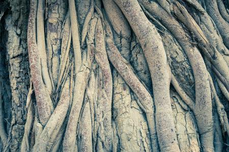 Foto de Vintage Old Tree Roots Background Wide Angle View. Brown tree roots texture for design. Natural Tree roots backdrop - Imagen libre de derechos