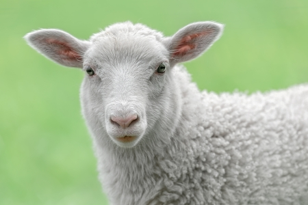 Face of a white lamb looking at you with bright green background