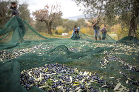 Foto für Italy. Farmers at work in harvesting olives in the countryside - Lizenzfreies Bild