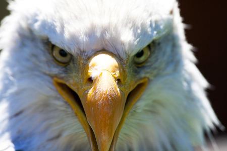 A beautiful North American Bald Eagle.