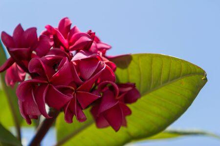 Hawaiian dark red plumeria, rojo mojo hybrid, frangipani blooms in summer in Hawaii