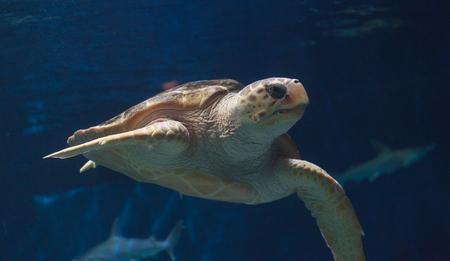 Juvenile loggerhead sea turtle, Caretta caretta, swims gracefully through the water