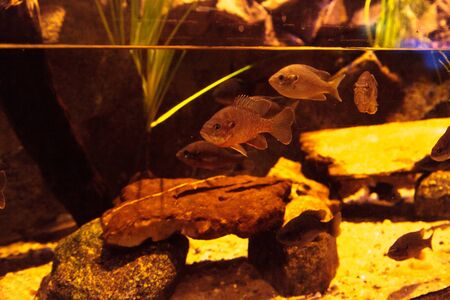 Endangered Arroyo chub fish scientifically known as Gila orcuttii is found in coastal streams in California