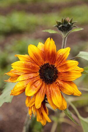 Orange and yellow dwarf little Becka sunflower scientifically known as Helianthus annuus.