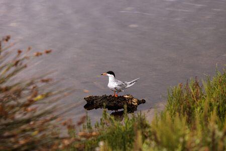Elegant tern, Thalasseus elegans, hunts for food at the Bolsa Chica wetlands in Huntington Beach, California on a rainy day.