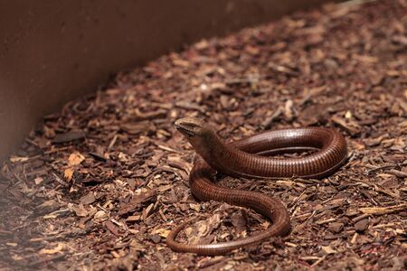 Legless lizard Scheltopusik is scientifically known as Pseudopus apodus and is found in Greece and the Ukraine.