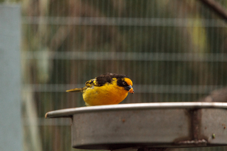 African golden oriole is a bright yellow bird with a black mask known scientifically as Oriolus auratus.