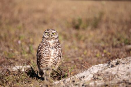 Burrowing owl Athene cunicularia perched outside its burrow on Marco Island, Florida