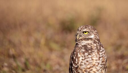 Burrowing owl Athene cunicularia perched outside its burrow on Marco Island