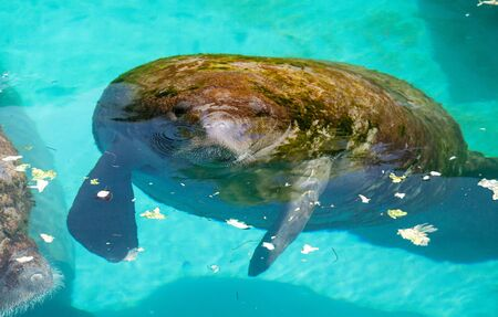 Photo pour Florida manatee also called the West Indian manatee or sea cow Trichechus manatus swims in brackish water. - image libre de droit