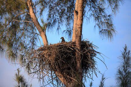 Foto de Baby bald eaglet Haliaeetus leucocephalus in a nest on Marco Island, Florida in the winter. - Imagen libre de derechos