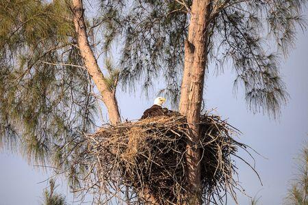 Foto de Mom Bald eagle Haliaeetus leucocephalus feeds the eaglets in their nest of chicks on Marco Island, Florida in the winter. - Imagen libre de derechos