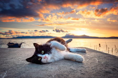 Photo pour Black and white cat lying under a dramatic sunset on the lagoon - image libre de droit