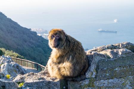 Magot Barbary Monkey's sylvanus macaca ape at Gibraltar