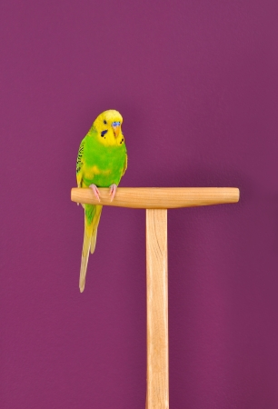 Yellow-green budgerigar parrot perched on a stand  of purple background