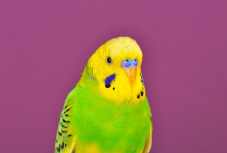 Yellow-green budgerigar  parrot close-up of purple background
