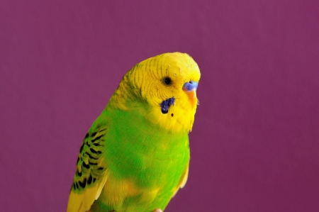Motley yellow-green budgerigar parrot closeup of purple background