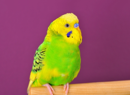 Motley yellow-green budgerigar parrot closeup perched on a stand of purple background