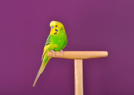 Motley yellow-green budgerigar parrot perched on a stand of purple background