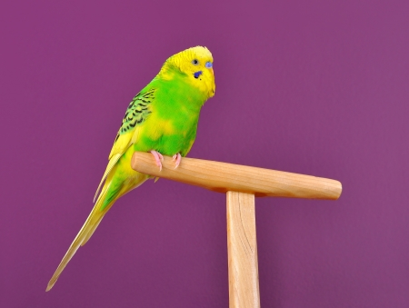 Motley yellow-green budgerigar parrot perched on a stand  of purple backgrund