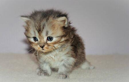 Photo pour Adorable and cute persian cat - - image libre de droit