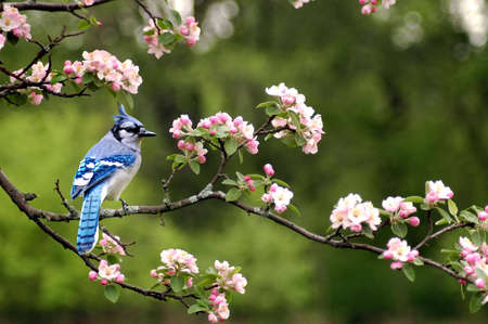 A picture of a bluejay on a cherry blossom tree taken in Indiana