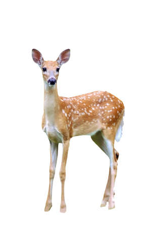 A isolated picture of a fawn deer taken in a forest in Indiana