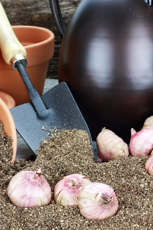 Flower corms or bulbs in potting soil with wateringcans, flower pots, and trowel.