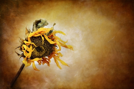 Dried sunflower with painterly effect
