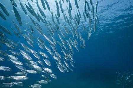 Photo pour mackerel school feeding - image libre de droit