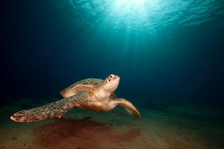 male green turtle.
