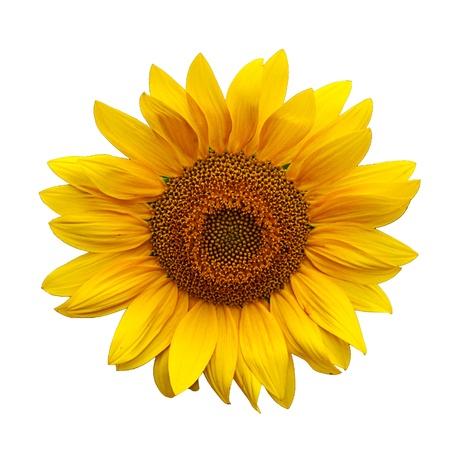 Beautiful large yellow sunflower petals