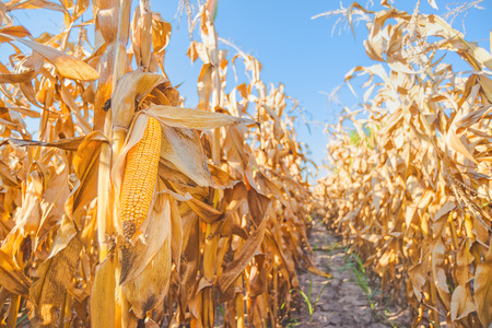 Harvest ready maize ear on stalk in cultivated corn field, close up with selective focus