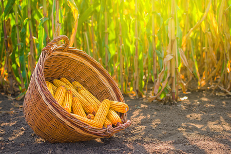 Harvested corn in wicker basket, freshly picked maize ears out in agricultural field landscape, selective focus