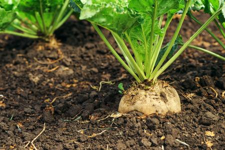 Foto für Sugar beet root in ground, cultivated crop in the field - Lizenzfreies Bild