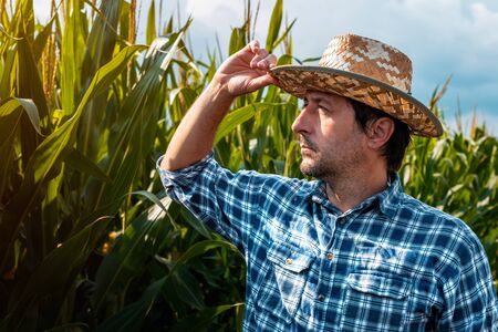 Agronomist is examining development of corn crops in cultivated field. Portrait of responsible adult male specialist analyzing maize growth on plantation.