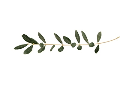 Olive tree twig with leaves isolated on white background. A single branch of peace symbol