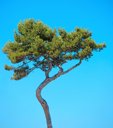 Maritime Pine curved tree, Pinus Pinaster mediterranean plant, isolated on blue sky background  Juan les Pins, Provence, France