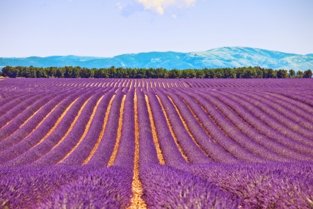 Lavender flower blooming fields in endless rows and trees on background  Landscape in Valensole plateau, Provence, France, Europe