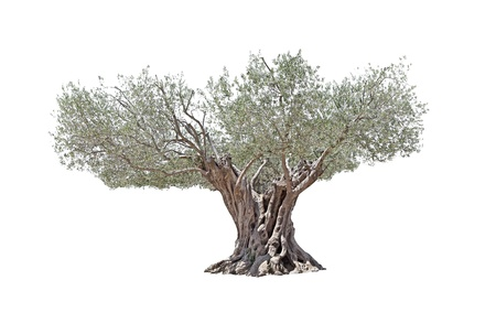 Secular Olive Tree with large and textured trunk isolated on white background