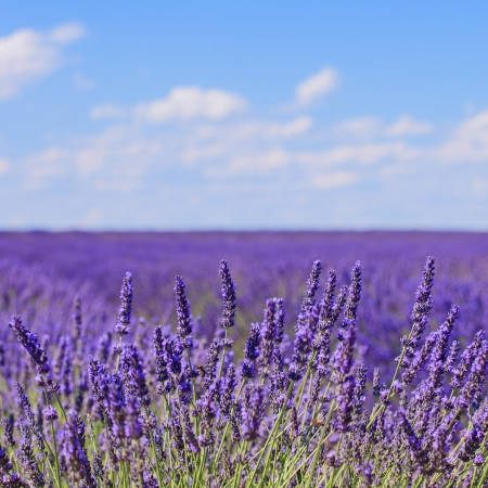 Lavender flower blooming scented fields in endless rows and a blue cloud sky  Landscape in Valensole plateau, Provence, France, Europe