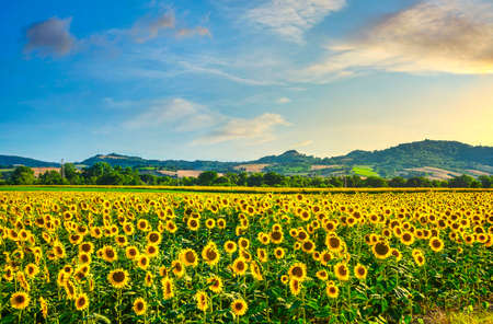 Photo pour Field of blooming sunflowers at sunset, summer panoramic landscape in Tuscany, Italy - image libre de droit
