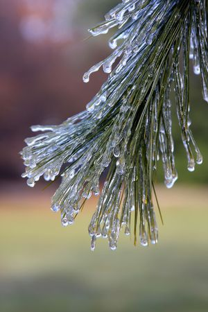Winter ice storm on a pine branch