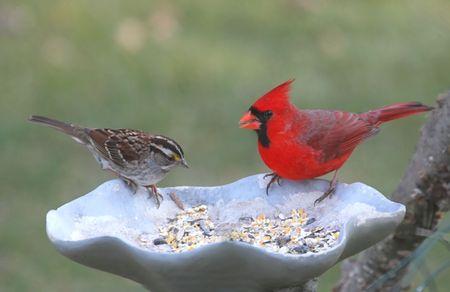 Cardinal and Sparrow on a bird feeder