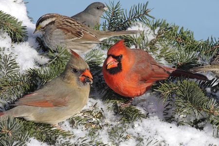 Pair of Northern Cardinals (cardinalis cardinalis) White-throated Sparrow (Zonotrichia albicollis) and Dark-eyed Junco (hyemalis) at a feeder in winter