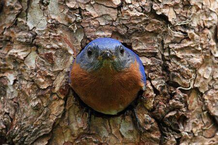Eastern Bluebird (Sialia sialis) on a tree in a nest hole