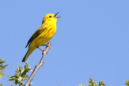 Yellow Warbler (Dendroica petechia) on a branch in early spring